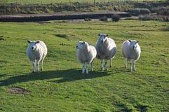 Saltmarsh sheep on Northam Burrows Stock Photo