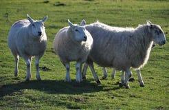 Saltmarsh sheep on Northam Burrows Stock Images