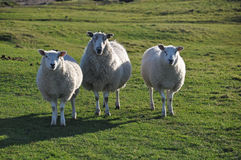 Saltmarsh sheep on Northam Burrows Royalty Free Stock Photos