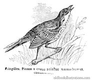 Saltmarsh sparrow Stock Photos