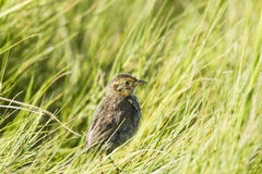 Saltmarsh Sparrow Royalty Free Stock Photography
