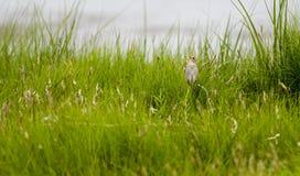 Saltmarsh Sparrow Perched Stock Photo