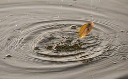 Salto agganciato dei pesci al disopra della superficie Immagini Stock