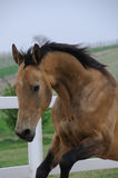 Salto akhal dourado do cavalo do teke Imagens de Stock