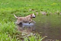 Salto amarillo del perro perdiguero de Labrador. Imagen de archivo libre de regalías