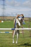 Salto bendato di agilità del cane Immagine Stock