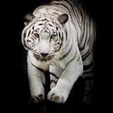 Salto blanco del tigre aislado en fondo negro Foto de archivo