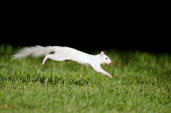 Salto branco do esquilo Fotos de Stock Royalty Free
