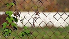 Salto común entrelazado en la cerca oxidada vieja hecha de la malla de alambre de acero almacen de metraje de vídeo