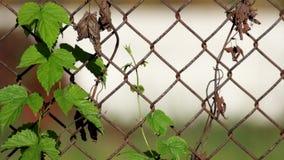 Salto común entrelazado en la cerca oxidada vieja hecha de la malla de alambre de acero almacen de video