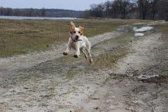 Salto criado en línea pura de cocker spaniel de la raza del perro foto de archivo