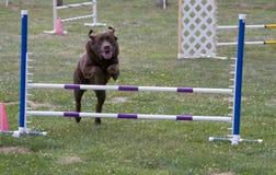 Salto da agilidade do cão Imagens de Stock Royalty Free