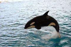 Salto da baleia de assassino Imagem de Stock