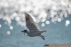 Salto da gaivota Fotografia de Stock