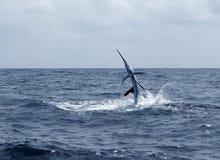 Salto da pesca de esporte do saltwater do Sailfish Imagens de Stock