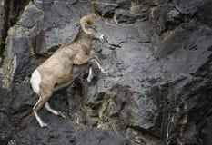Salto da ram dos carneiros de Bighorn Imagens de Stock