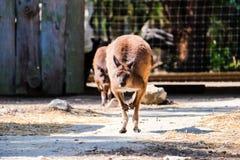 Salto de corrida do canguru fotos de stock