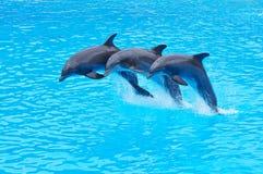 Salto de delfínes de Bottlenose, truncatus del Tursiops Foto de archivo libre de regalías