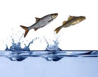 Salto de dos pequeño pescados Fotografía de archivo libre de regalías
