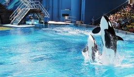 Salto de duas orcas (baleia de assassino) fotos de stock