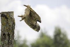 Salto de Eagle Owl del europeo hacia presa Imágenes de archivo libres de regalías