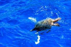 Salto de Honu en el Pacífico fotos de archivo