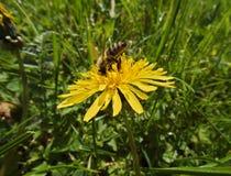 Salto de la abeja en el diente de león Fotografía de archivo libre de regalías