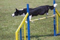 Salto de la agilidad del perro Imagen de archivo libre de regalías