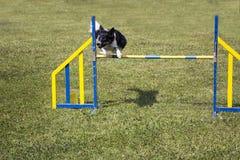 Salto de la agilidad del perro Fotos de archivo libres de regalías