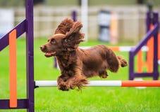 Salto de la agilidad del perro de cocker spaniel imágenes de archivo libres de regalías