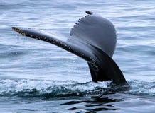Salto de la aleta de cola de la ballena jorobada Imagenes de archivo