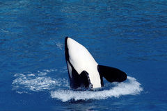 Salto de la ballena de asesino Fotografía de archivo