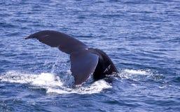 Salto de la ballena de Humpback Imagen de archivo libre de regalías