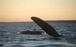 Salto de la ballena en la puesta del sol Foto de archivo libre de regalías