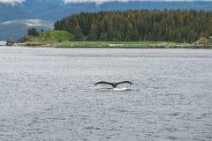 Salto de la ballena jorobada delante de los árboles Imagen de archivo libre de regalías