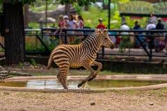Salto de la cebra, parque zoológico del como Imagen de archivo libre de regalías