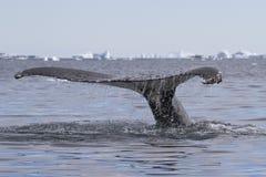 Salto de la cola de la ballena jorobada en aguas foto de archivo