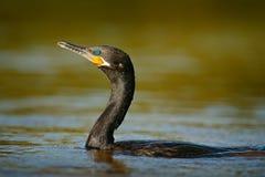 Salto de la pelusa en el agua del vagabundo Gran cormorán del pájaro oscuro, carbón del Phalacrocorax, cabeza en la superficie de imagenes de archivo