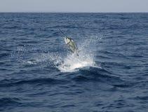 Salto de la pesca deportiva del agua salada del pez volador Imagen de archivo