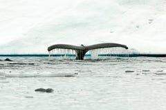 Salto de la platija de la cola de la ballena jorobada en agua antártica Fotografía de archivo