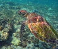 Salto de la tortuga o de la tortuga de mar verde en arrecife de coral Foto de archivo
