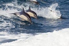 Salto de los delfínes de Bottlenose Imagenes de archivo