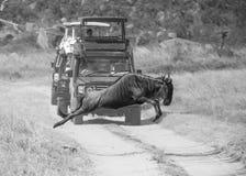 Salto del ñu salvaje fotografía de archivo