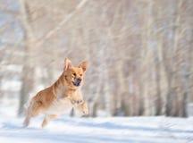 Salto del cane del documentalista dorato con la sfuocatura di movimento immagine stock