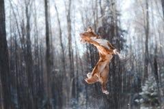 Salto del cane della razza di Nova Scotia Duck Tolling Retriever alto all'aperto fotografie stock libere da diritti