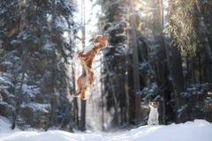 Salto del cane della razza di Nova Scotia Duck Tolling Retriever alto all'aperto Fotografia Stock