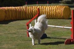 Salto del cane di agilità Fotografia Stock Libera da Diritti