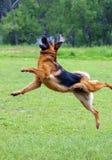 Salto del cane di pastore Fotografie Stock