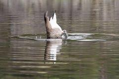 Salto del ganso de Canad? fotografía de archivo