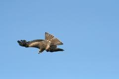 Salto del halcón Foto de archivo